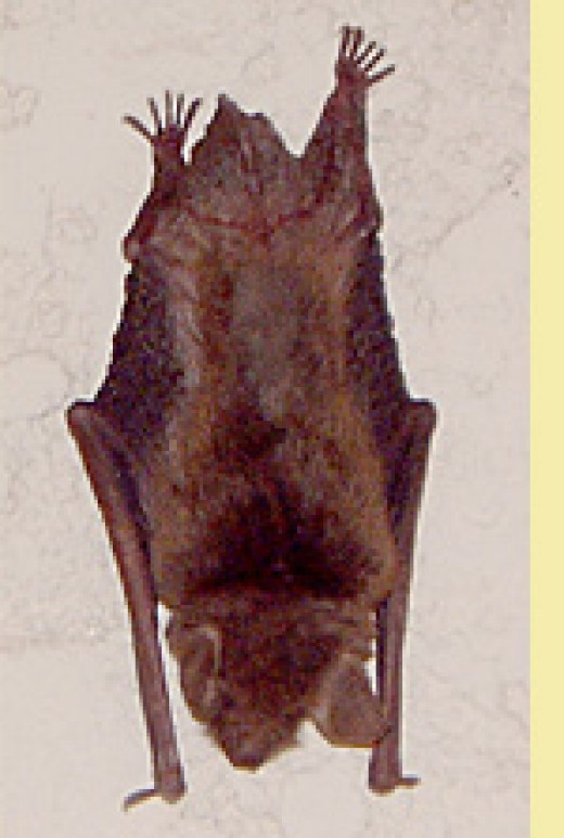 One of the Brown Bat family...isn't he cuddly