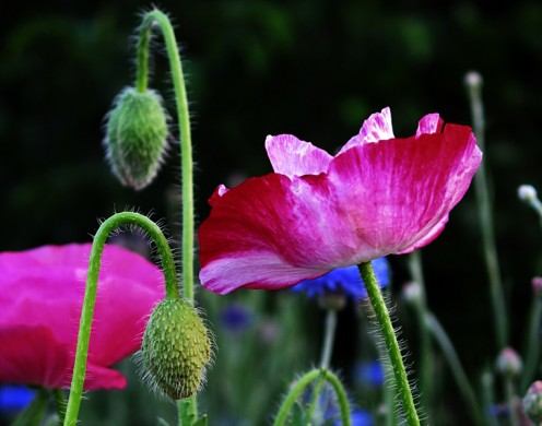 Poppies come in many colors and are a bright addition to any garden.