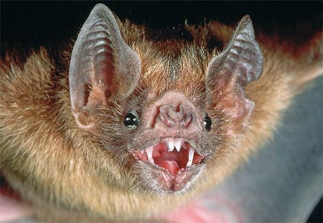 Common Vampire Bat...isn't he cute?  Must have a NHS dentist!