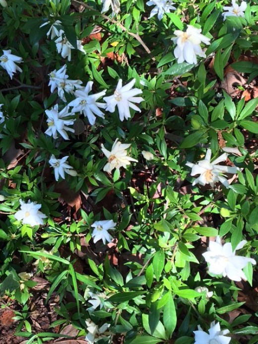 Gardenia Bush in the May morning sun