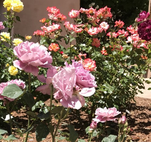 You can find roses in just about every color you can think of, so why not plant a variety of colors.