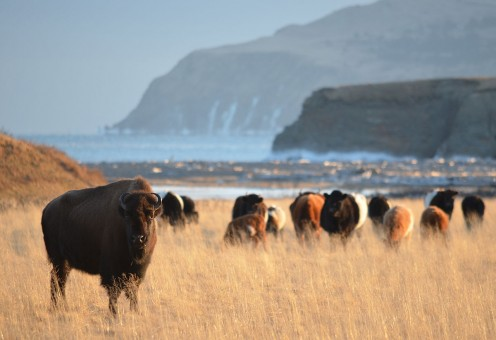 Bison herd on Kodiak Island.