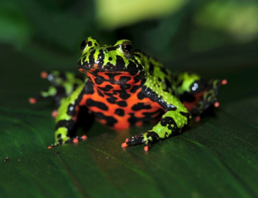 A fire bellied toad