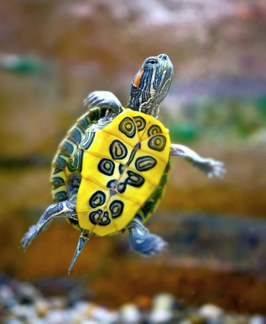 A juvenile red eared slider turtle