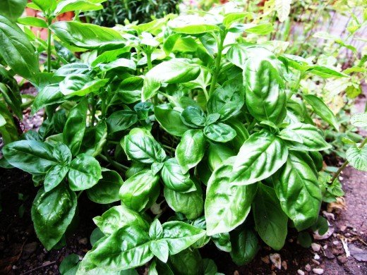 Basil is a wonderful herb for any witch's garden!
