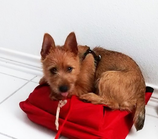 I have a red bag with a binder for my husband John's medical history and Chipper loves red, when I sat the bag down and leaned it against the wall Chipper pushed it down on its side and got on top to lay down and he would do that when I left it out.