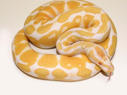 The albino form of ball python