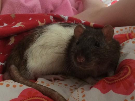 Scabbers: Sleepy, sleepy... can I sleep now