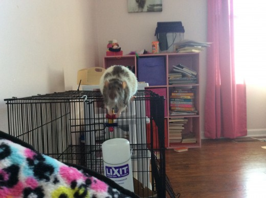Templeton: A lucky shot of Tempy's attempt to jump from his cage to the chair