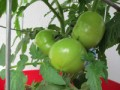 Hand Pollinating Your Tomato Plants