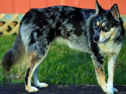 Gerberian Shepsky (German Shepherd and Husky Mix)