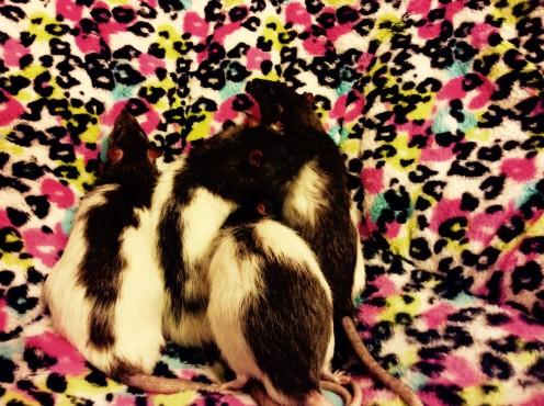 All the rats from left to right: Kirk, Spock, Templeton, and Scabbers