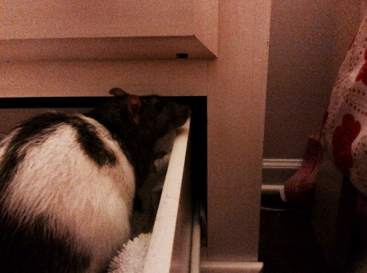 Templeton in a drawer