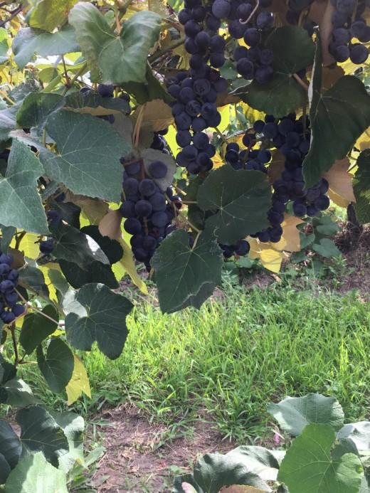 My Vineyard