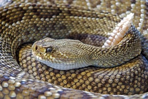A dangerous rattlesnake.