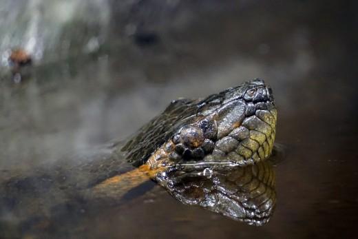 Water anaconda. Beware!