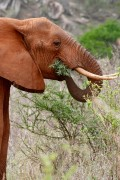 Majestic African Elephants In The Wild