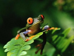 red-eyed tree frog photo from: http://www.frogsite.org/pic/Redeyed_Tree_Frog.jpg