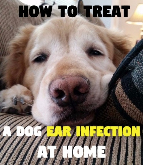 How to Treat a Dog's Ear Infection Without  Vet Help