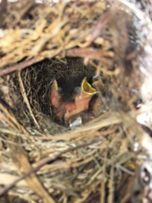 Baby birds in a nest on my porch.