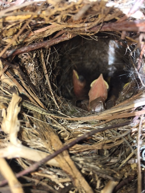 Baby birds in a nest on my porch.  They are so cute. I am sad that they are gone!