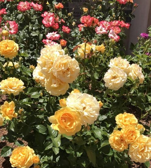 Roses love the sunshine.
