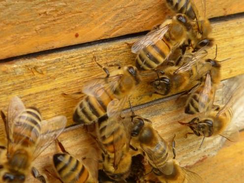 Honeybees entering a beehive.