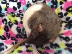 Meet My Rats (A Fun Little Hub Dedicated to My Rats)