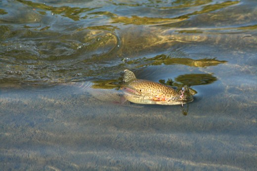 A Rainbow Trout rising. When fishing in close quarters, such as streams, beaver ponds, and alpine lakes, ultralight gear provides plenty of range to reach the fish.