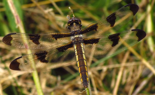 A female Twelve Spotted Skimmer doesn't have any white spots