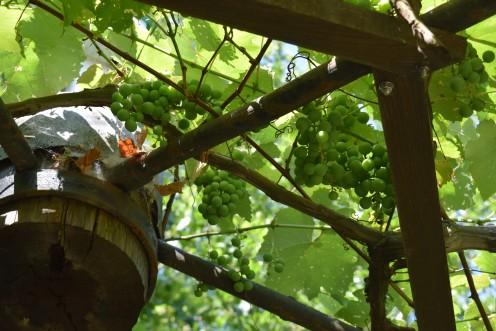 Damaged Grape Plants