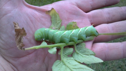 Tomato Worm Caterpillar - A Rather Large Garden Pest