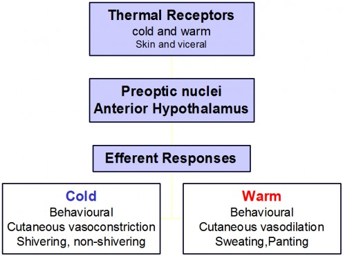 Temperature regulation by the human body