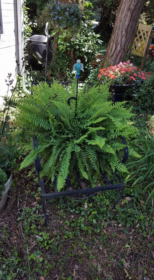 I love Boston Ferns and I use them liberally every summer all over my gardens
