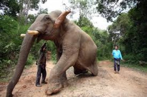 They say Elephants are smart. If that man was smart he would stay away from that big fella or risk getting squashed.