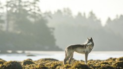 20 Wolves Probably Extinct or Critically Endangered