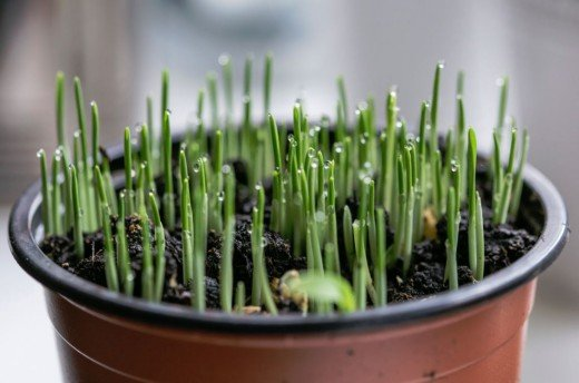 Chives love the sun and add flavor to dips, omelets, and potato dishes.