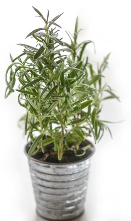 Rosemary is a savory herb that spells delicious.