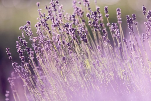 Lavender not only smells beautiful, but it also relaxes and soothes. The purple herb thrives outside in the sun.