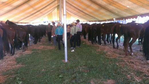 Inside the tent awaiting the horse auction.