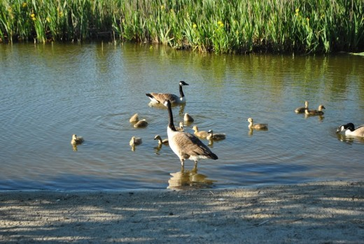Ducklings, goslings and signets are all found here!
