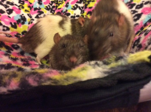 """""""We are soooo not mutt rats. We are magical rats."""" -Picture of Teddy (R.I.P), Scabbers, and Templeton"""