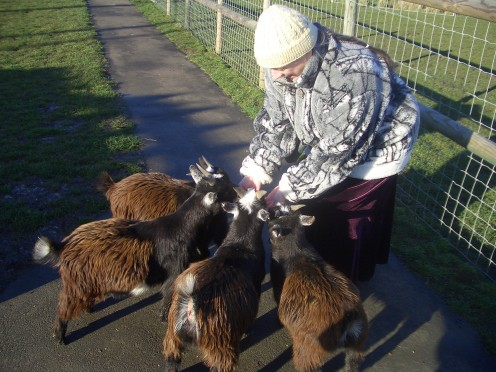 miniature goats at hammerton zoo park England