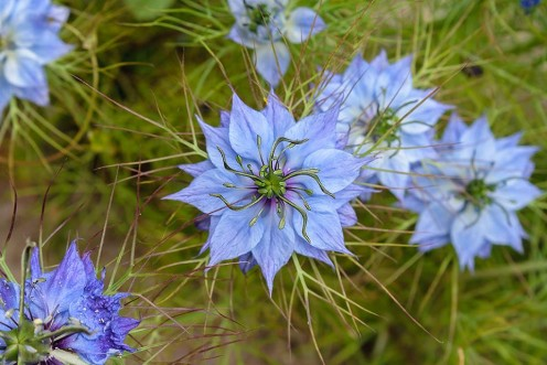 "My Facebook friend Sian Humphrey took this photo of some ""Love-in-a-Mist"" flowers.  Absolutely beautiful!  Thank you, Sian, for allowing me to share your photo."