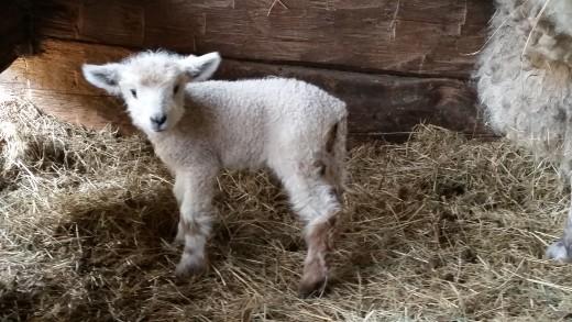 A new lamb!