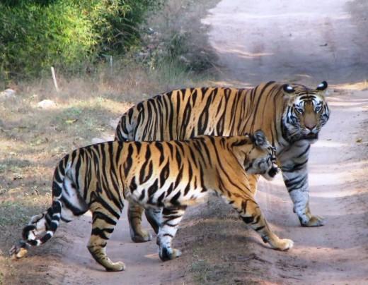 Mating Tiger