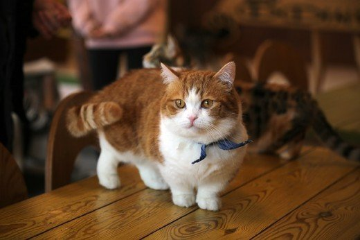 A Munchkin cat is a cat with shortened legs and a long spine.