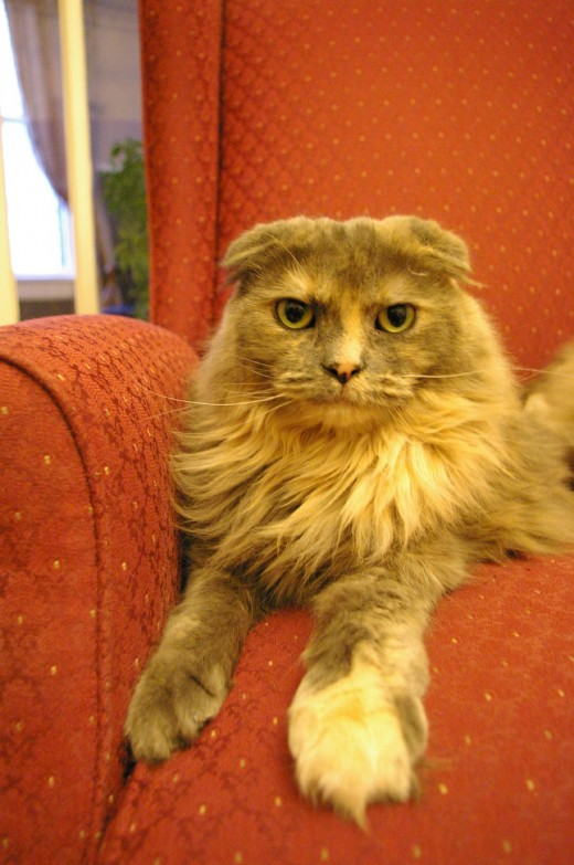 Grouchy looking Scottish Fold kitty