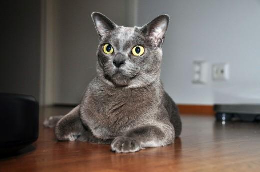 An attentive Blue Burmese cat