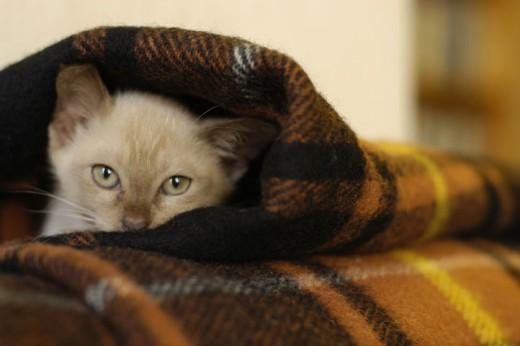 Cute little Champagne Burmese kitten
